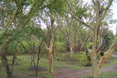 Trees C